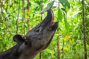 Baird's tapir (Tapirus bairdii) browsing on leaves, rainforest, Corcovado National Park, Costa Rica. Endangered.  -  Nick Hawkins