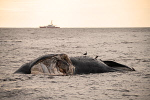 A dead North Atlantic right whale (Eubalaena glacialis) floats, Gulf of Saint Lawrence, Canada. The whale, known as 'Punctuation' to researchers, was a large female who scientists have been tr...  -  Nick Hawkins