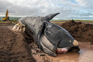 A dead North Atlantic right whale (Eubalaena glacialis) on beach in Cape Breton, Canada. The whale, known as 'Punctuation' to researchers, was a large female who scientists have been tracking...  -  Nick Hawkins