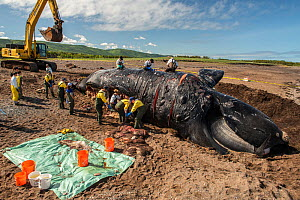 Researchers perform a necropsy on dead North Atlantic right whale (Eubalaena glacialis) on beach in Cape Breton, Canada. The whale, known as 'Punctuation' to researchers, was a large female wh...  -  Nick Hawkins