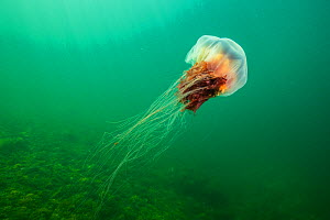 Lions mane jellyfish (Cyanea capillata) drifts, current off Nova Scotia, Canada. July  -  Nick Hawkins