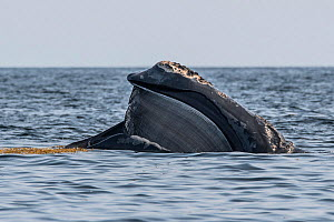 North Atlantic right whale (Eubalaena glacialis) with mouth open revealing baleen plates. Gulf of Saint Lawrence, Canada. July 2019.  -  Nick Hawkins