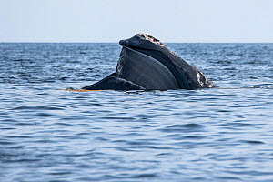 North Atlantic right whale (Eubalaena glacialis) with mouth open revealing baleen plates. Gulf of Saint Lawrence, Canada. July IUCN Status: Endangered.  -  Nick Hawkins