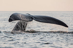 Tail of a North Atlantic right whale (Eubalaena glacialis) as it dives, Gulf of Saint Lawrence, Canada. July IUCN Status: Endangered.  -  Nick Hawkins