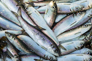 Pacific herring (Clupea pallasii) caught from the coastal waters of the Great Bear Rainforest in British Columbia, Canada. March.  -  Nick Hawkins