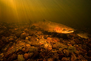 Atlantic salmon (Salmo salar) male guarding it's nest, known as a 'redd' from precocious juvenile salmon parr that may try to fertilize the females eggs. St. Mary's river, Nova Scotia,...  -  Nick Hawkins