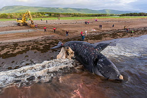 Aerial view of a dead North Atlantic right whale (Eubalaena glacialis) on beach in Cape Breton, Canada. The whale, known as 'Punctuation' to researchers, was a large female who scientists have...  -  Nick Hawkins
