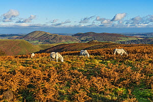Ponies grazing on the Long Mynd in late afternoon light with Caer Caradoc and Hope Bowdler Hills in the background Shropshire, UK, November 2019.  -  Alan Williams