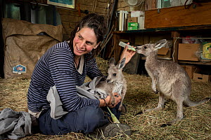 Rena Gaborov feeding Eastern grey kangaroo (Macropus gigantea) orphans in her mother-in-law's shed in Sarsfield, Victoria, Australia. January 2020 Editorial use only.  -  Doug Gimesy
