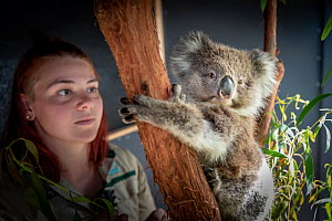 Koala (Phascolarctos cinereus) female named �Toby' which was rescued from Gelantipy (East Gippsland, Victoria) following the bushfires, is cared for by zoo keeper Courtney Pridgeon. Healsville Sanctua...  -  Doug Gimesy