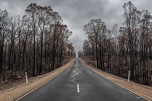 Burnt trees on the side of the Bruthen -Buchan Road, South Buchan.?This area was burnt during the November / Dec 2019 fires. Bruthen-Buchan Road, South Buchan, Victoria, Australia. January 2020  -  Doug Gimesy