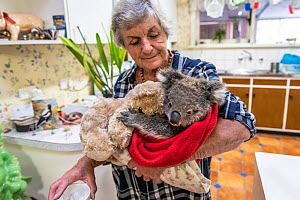 Wildlife rescuer and carer Lorna King takes a male koala �River' to her kitchen table, ready to feed him a food supplement. Model released  -  Doug Gimesy