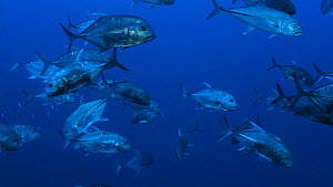 School of Giant trevally (Caranx ignobilis), with a diver in the background, Red Sea, Sudan.  -  Noemie Stroh