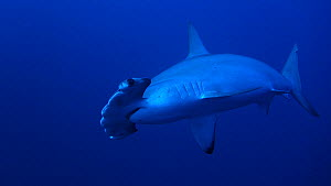 Hammerhead shark (Sphyrna) swimming in open water Daedalus Reef, Red Sea, Egypt.  -  Noemie Stroh