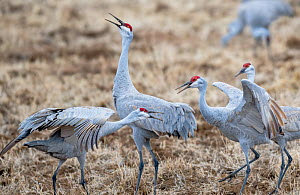 Sandhill cranes (Grus canadensis) in territorial confrontation, Bosque del Apache, New Mexico, USA. January.  -  Jack Dykinga
