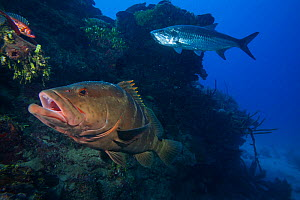 Nassau grouper (Epinephelus striatus) , Tarpon (Megalops atlanticus), and Longspine squirrelfish (Holocentrus rufus), Jardines de la Reina / Gardens of the Queen National Park, Caribbean Sea, Ciego de...  -  Claudio Contreras