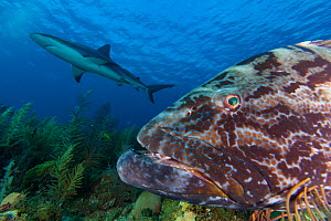 Black grouper (Mycteroperca bonaci), and Caribbean Reef Shark (Carcharhinus perezi), Jardines de la Reina / Gardens of the Queen National Park, Caribbean Sea, Ciego de Avila, Cuba.  -  Claudio Contreras