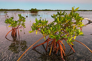 Red mangrove (Rhizophora mangle) saplings advancing over Turtle Grass (Thalassia testudinum), Jardines de la Reina / Gardens of the Queen National Park, Caribbean Sea, Ciego de Avila, Cuba.  -  Claudio Contreras