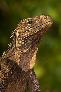 Cuban / Clouded rock iguana (Cyclura nubila), Jardines de la Reina / Gardens of the Queen National Park, Caribbean Sea, Ciego de Avila, Cuba.  -  Claudio Contreras