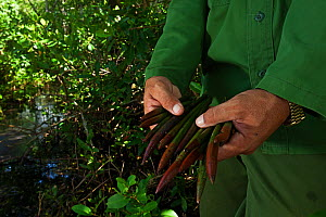 Person holding Red mangrove (Rhizophora mangle) propagule for reforestation, Playa Mayabeque, Mayabeque, Cuba.  -  Claudio Contreras