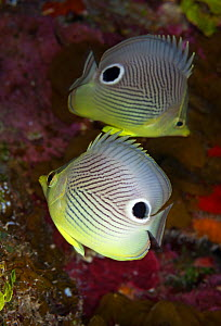 Foureye butterflyfish (Chaetodon capistratus) couple, Guanahacabibes Peninsula National Park, Pinar del Rio Province, western Cuba.  -  Claudio Contreras