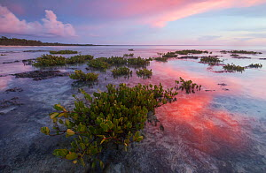 Red mangrove (Rhizophora mangle), tree seedllings at sunset, Guanahacabibes Peninsula National Park, Pinar del Rio Province, western Cuba.  -  Claudio Contreras