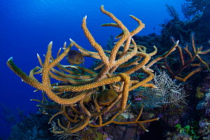 Staghorn coral (Acropora cervicornis) and Threespot damselfish (Stegastes planifrons), Staghorn Coral Guanahacabibes Peninsula National Park, Pinar del Rio Province, western Cuba.  -  Claudio Contreras