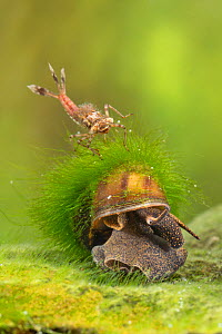 River snail (Viviparus sp.) and Large red damselfly nymph (Pyrrhosoma nymphula), Europe, April, controlled conditions  -  Jan Hamrsky