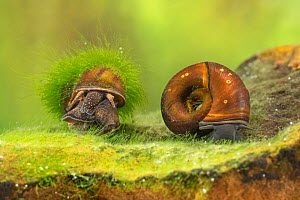 River snail (Viviparus sp.) and Great ramshorn snail (Planorbarius corneus), Europe, April, controlled conditions  -  Jan Hamrsky