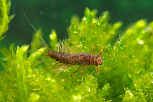 Prong-gilled mayfly nymph (Paraleptophlebia submarginata), Europe, April, controlled conditions  -  Jan Hamrsky