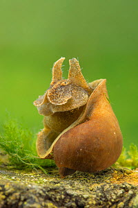 Freshwater snail (Radix auricularia), Europe, April, controlled conditions  -  Jan Hamrsky
