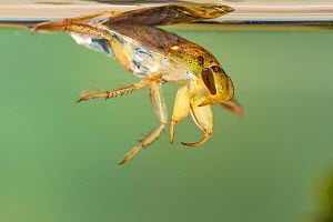 Creeping water bug (Ilyocoris cimicoides), Europe, May, controlled conditions  -  Jan Hamrsky