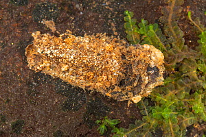 Case-building caddisfly larva (Molanna sp.), Europe, July, controlled conditions  -  Jan Hamrsky