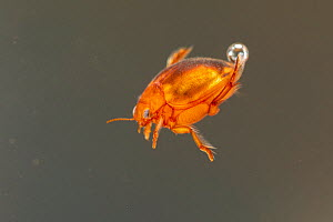Diving beetle (Hyphydrus ovatus), Europe, July, controlled conditions  -  Jan Hamrsky
