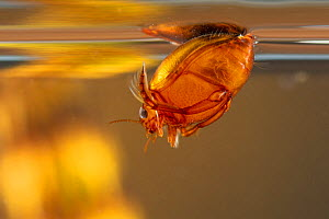 Diving beetle (Hyphydrus ovatus) refilling its air store by the surface, Europe, July, controlled conditions  -  Jan Hamrsky