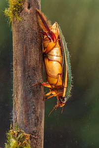 Diving beetle (Cybister lateralimarginalis) female, Europe, May, controlled conditions  -  Jan Hamrsky