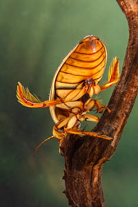 Great diving beetle (Dytiscus marginalis) male, Europe, August, controlled conditions  -  Jan Hamrsky