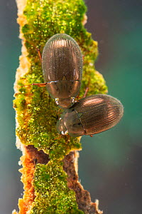 Water scavenger beetles (Hydrophilidae) Europe, May, controlled conditions  -  Jan Hamrsky