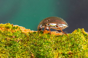 Water scavenger beetle (Hydrophilidae) Europe, May, controlled conditions  -  Jan Hamrsky