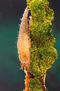 Water scavenger beetle larva (Hydrophilidae), Europe, May, controlled conditions  -  Jan Hamrsky
