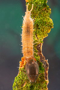 Water scavenger beetle and larva (Hydrophilidae), Europe, May, controlled conditions  -  Jan Hamrsky