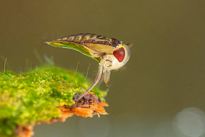 Water boatman (Corixa sp.), Europe, May, controlled conditions  -  Jan Hamrsky