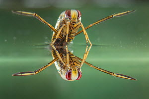 Backswimmer (Notonecta glauca), resting at the water surface, Europe, August, controlled conditions  -  Jan Hamrsky
