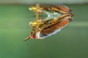 Backswimmer (Notonecta glauca) hunting at the water surface, Europe, August, controlled conditions  -  Jan Hamrsky