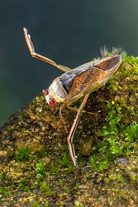 Backswimmer (Notonecta glauca), Europe, August, controlled conditions  -  Jan Hamrsky