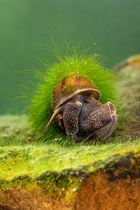 River snail (Viviparus sp.), Europe, April, controlled conditions  -  Jan Hamrsky