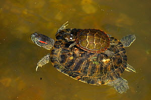 Red-eared slider (Trachemys scripta elegans), and Painted turtle (Chrysemys picta) on back, Maryland, USA, August.  -  John Cancalosi