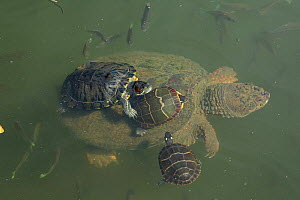 Red-eared slider (Trachemys scripta elegans), and Painted turtles (Chrysemys picta) on back of Snapping turtle (Chelydra serpentina) Maryland, USA, August.  -  John Cancalosi
