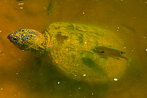 Snapping turtle (Chelydra serpentina) and Bluegills (Lepomis macrochirus) Maryland, USA, May.  -  John Cancalosi