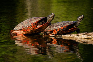 Northern red-bellied turtle (Pseudemys rubriventris), Maryland, USA, May.  -  John Cancalosi